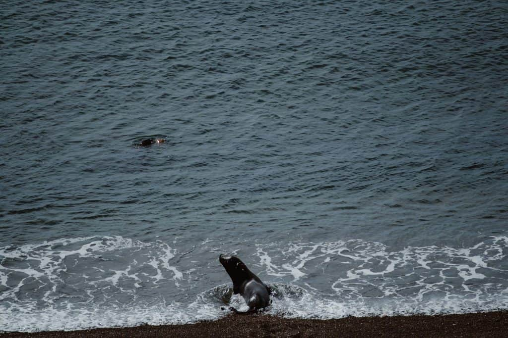 Sea lions playing on the shore at punta Norte on Peninsula Valdes