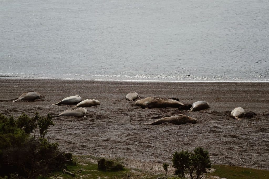 Elephant seal colony lying on the beach in Peninsula Valdes