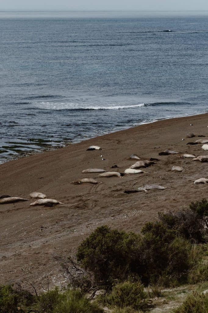 colony of elephant seals in Argentina