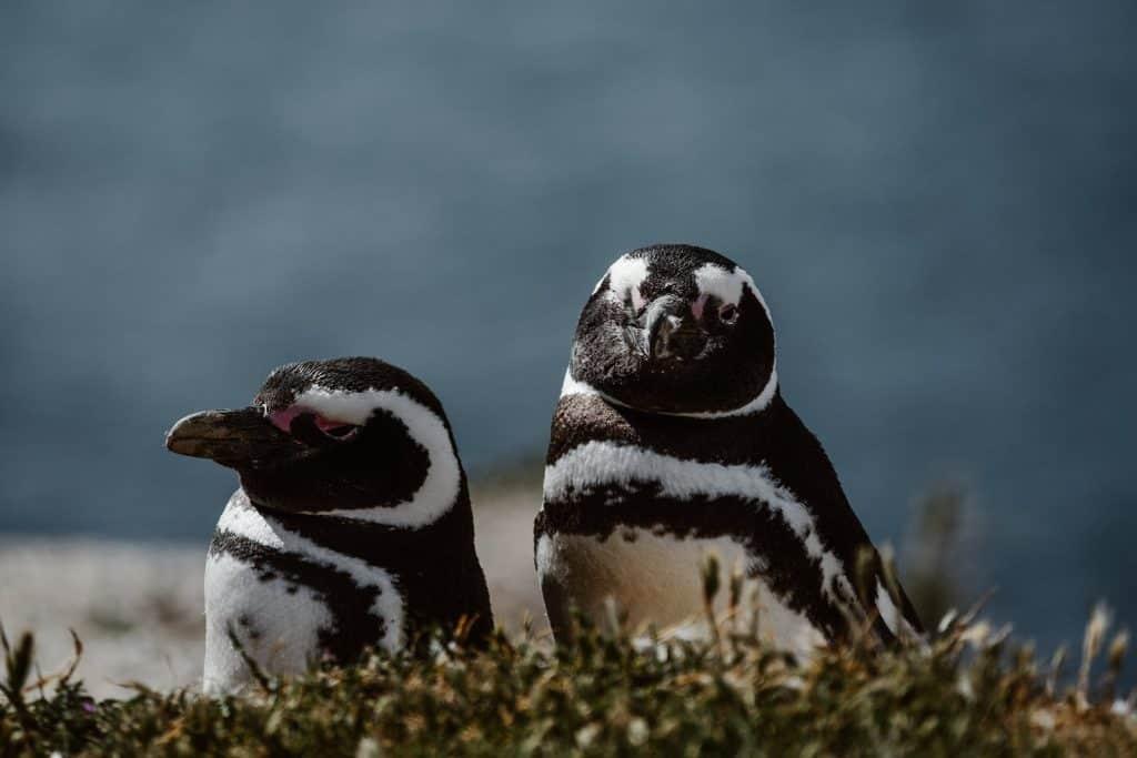 Two Magellanic penguins on Peninsula Valdes in Patagonia