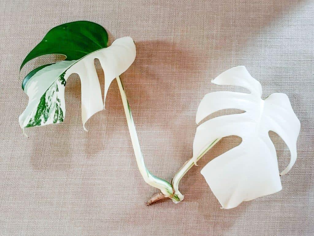 all white variegated monstera deliciosa