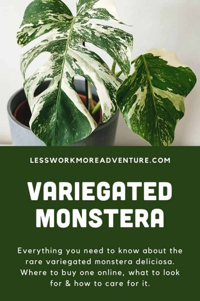 guide on variegated monstera pin