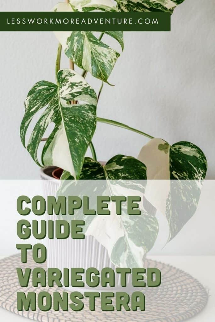 guide to variegated monstera