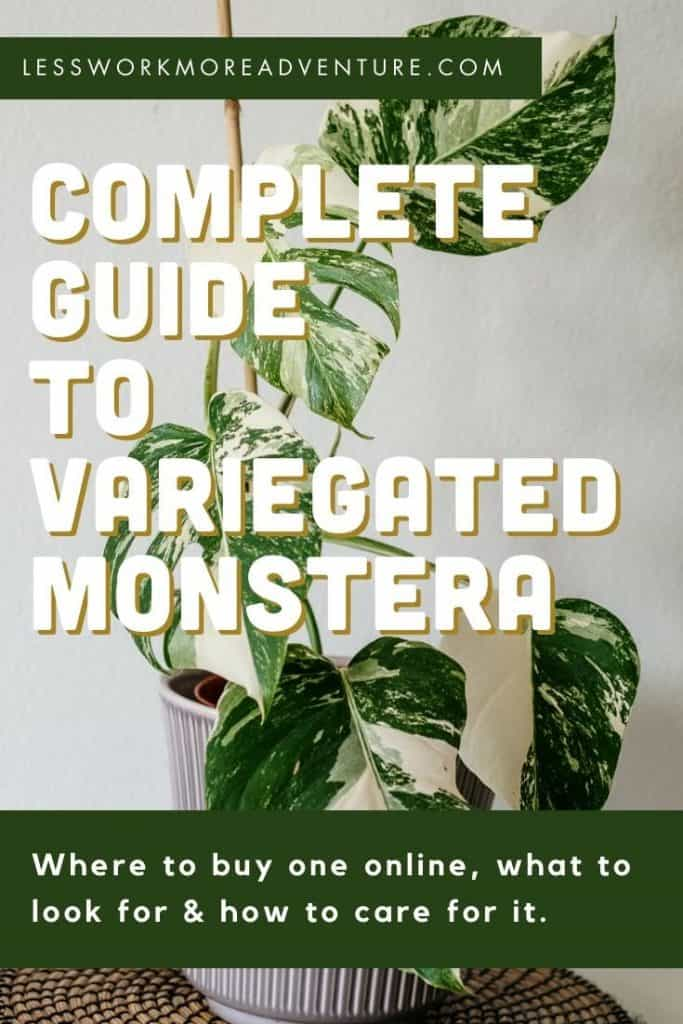 variegated monstera guide