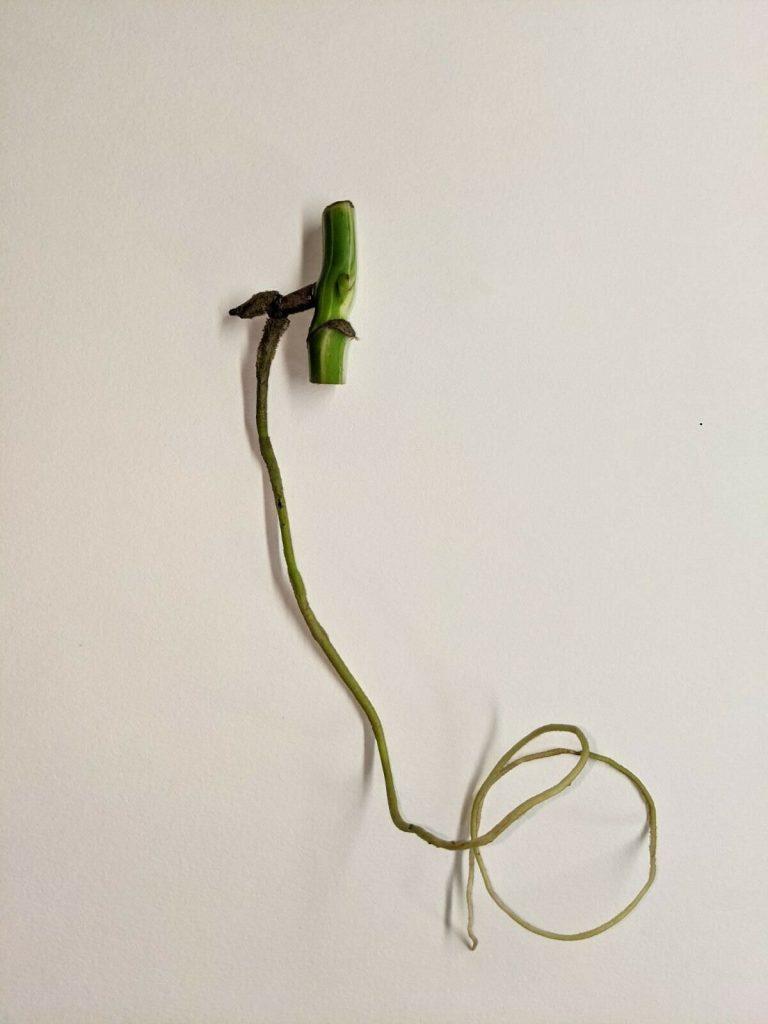variegated monstera stem cutting